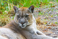 Cougar puma concolor or portrait in the grass Royalty Free Stock Photos