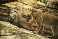 Cougar puma mountain lion a concolor known as the or Royalty Free Stock Images