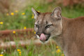 Cougar, puma or mountain lion with tongue Royalty Free Stock Photos