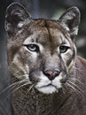 Cougar puma portrait of from local city zoo garden in belgrade the concolor also known as the mountain lion Stock Image