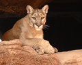 Cougar resting a on a sandstone cliff Stock Images