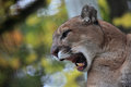 Cougar roar Royalty Free Stock Photo