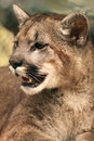 Cougar Smile Stock Photography