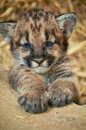 Cougars born have spots lose them as grow age years will completely be gone Stock Photos