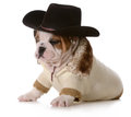 Country dog english bulldog puppy dressed up in western gear isolated on white background weeks old Royalty Free Stock Photos