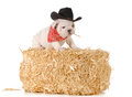 Country dog english bulldog puppy sitting on a bale of straw isolated on white background weeks old Royalty Free Stock Image