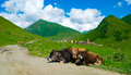 Country landscape in svaneti georgia cows lying on the road Stock Photos