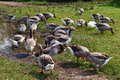 Country Life. Herd of white domestic geese Royalty Free Stock Photo