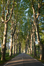 Country road lined with sycamore trees Royalty Free Stock Photo