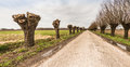 Country road between pollard willows truncated and not pollarded willow trees on either side of a rural Royalty Free Stock Photography