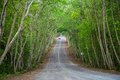 Country road running through Mimosa tree alley Royalty Free Stock Photo