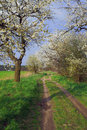 A country road and white flowering trees Royalty Free Stock Photo