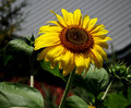 Country sunflower reaching for the sky with the barn in the background Stock Images