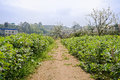 Countryside footpath between flowering horsebean lands at sunny Royalty Free Stock Photo