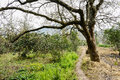 Countryside footpath under blossoming pear tree in sunny spring Royalty Free Stock Photo