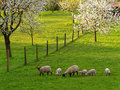 Countryside idyll with sheep at spring Royalty Free Stock Photo