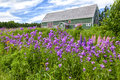 Countryside lupins phlox sweet rocket and other wildflowers growing in the of rural prince edward island canada Royalty Free Stock Photos