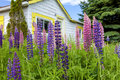 Countryside lupins and wildflowers growing in the of rural prince edward island canada Royalty Free Stock Images