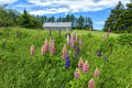 Countryside lupins and wildflowers growing in the of rural prince edward island canada Stock Photos