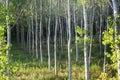 Countryside of Pavia (Italy): poplars Royalty Free Stock Photo