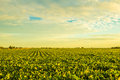 Countryside at sunset a beautiful soybean field dusk with amazing colors Royalty Free Stock Image