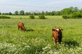 Countryside tranquil scene with two young cows Royalty Free Stock Photo