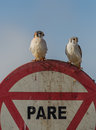 A couple of the american kestrel pair kestrels falco sparverius perches on stop sign at cayo coco island cuba Royalty Free Stock Images