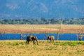 A couple of asian elephants Royalty Free Stock Photo