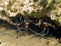 Couple of Banded boxer shrimp Royalty Free Stock Photos