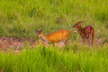 Couple of barking deer muntjacs or mastreani deer on the field in nature at khaoyai national park thailand Royalty Free Stock Photos
