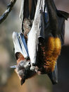 Couple of bats hanging out Royalty Free Stock Photography