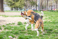 Couple of beagle dogs playing on grass in park Stock Image