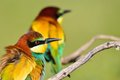 Couple of bee-eaters on leafless branch Royalty Free Stock Photo
