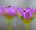 Couple of bees in nature among the lilies. Royalty Free Stock Photo