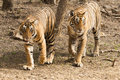 Couple of Bengal tiger in Ranthambore national park Royalty Free Stock Photo
