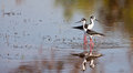Couple of Black-winged Stilts Stock Photo