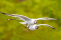Couple of brown headed gull flying larus brunnicecephalus thailand Royalty Free Stock Photography