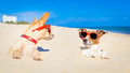 Couple of buried dogs two in the sand at the beach on summer vacation holidays having fun and enjoying wearing red sunglasses fun Stock Photos