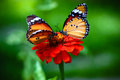 Couple Butterfly