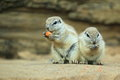 Couple of cape ground squirrels standing on on the soil Stock Photography