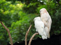 Couple of cockatoo cacatua from backside Stock Photo