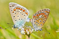 Couple of common blue butterflies Royalty Free Stock Image