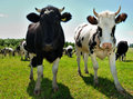 Couple of curious cows on pasture Royalty Free Stock Photo