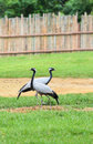 A couple of Demoiselle Crane Bird Royalty Free Stock Photo