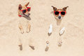 Couple of dogs buried in sand two the at the beach on summer vacation holidays having fun and enjoying wearing red sunglasses fun Stock Image