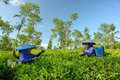 Couple female farmers harvesting tea leaves daily activities of on field she is wearing something like mask to protect their nose Royalty Free Stock Photo