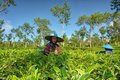 Couple female farmers harvesting tea leaves daily activities of on field she is wearing something like mask to protect their nose Stock Image