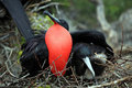 Couple of fregate birds Stock Photography