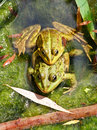 Couple of frogs joined together in a pond Stock Images