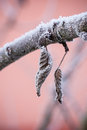 Couple of frozen dry leaves on branch vertical photo winter motif with two brown are covered by white ice crystals and are joined Royalty Free Stock Photos